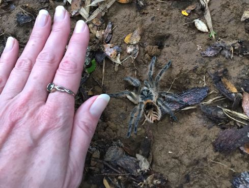 I'd say this spider is sufficiently large. I wasn't quiiittte brave enough to put my hand on the ground right next to it, so it's slightly bigger than what it appears.