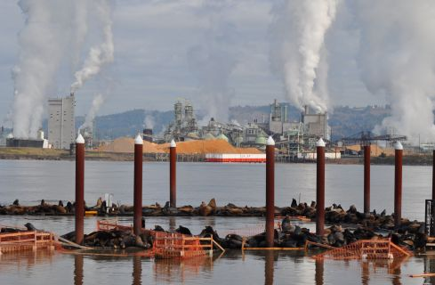 Sea lions have overtaken the Rainier docks. A pulp mill at the Port of Longview is across the river.